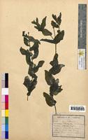 Potamogeton perfoliatus (Potamogetonaceae)