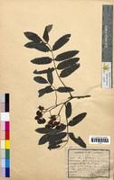 Sorbus aucuparia (Rosaceae)