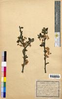 Prunus spinosa (Rosaceae)