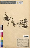 Potentilla verna (Rosaceae)