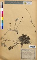 Potentilla anserina (Rosaceae)