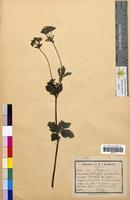 Potentilla rupestris (Rosaceae)