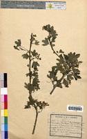Crataegus oxyacantha (Rosaceae)