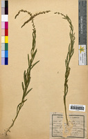 Reseda luteola (Resedaceae)