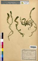 Elodea canadensis (Hydrocharitaceae)