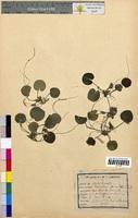 Hydrocharis morsus-ranae (Hydrocharitaceae)