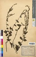 Teucrium scorodonia (Lamiaceae)