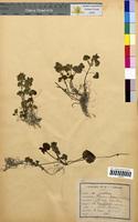 Glechoma hederacea (Lamiaceae)