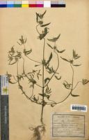 Galeopsis ladanum (Lamiaceae)