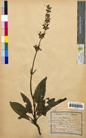 Salvia pratensis (Lamiaceae)
