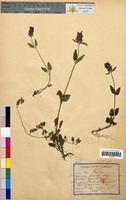 Prunella vulgaris (Lamiaceae)