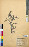 Thymus serpyllum (Lamiaceae)