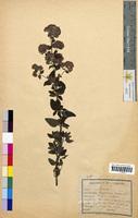 Origanum vulgare (Lamiaceae)