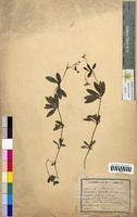 Asperula odorata (Rubiaceae)