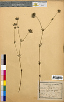 Asperula arvensis (Rubiaceae)