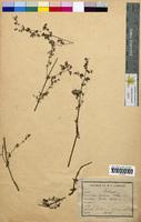 Galium mollugo (Rubiaceae)