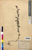 Galium verum (Rubiaceae)