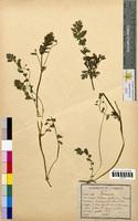 Erodium cicutarium (Geraniaceae)