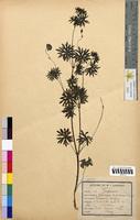 Geranium sanguineum (Geraniaceae)