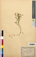 Arenaria serpyllifolia (Caryophyllaceae)