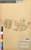 Arenaria tenuifolia (Caryophyllaceae)