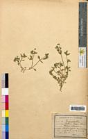 Stellaria media (Caryophyllaceae)