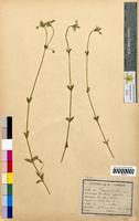 Cerastium vulgare (Caryophyllaceae)