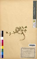 Cerastium glomeratum (Caryophyllaceae)