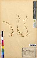 Cerastium arvense (Caryophyllaceae)