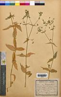 Malachium aquaticum (Caryophyllaceae)