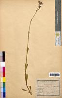 Lychnis flos-cuculi (Caryophyllaceae)