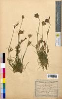 Dianthus caryophyllus (Caryophyllaceae)