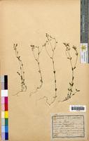 Linum catharticum (Linaceae)