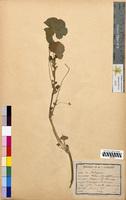 Malva rotundifolia (Malvaceae)