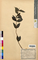 Lonicera periclymenum (Caprifoliaceae)