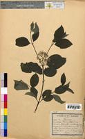 Cornus sanguinea (Cornaceae)