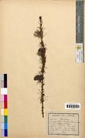 Larix europaea (Pinaceae)