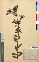http://bibliotheque-virtuelle.clermont-universite.fr/files/fichiers_bcu/Euphorbia_verrucosa_CLF094614.jpg
