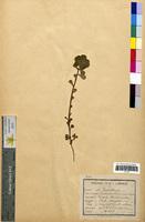 http://bibliotheque-virtuelle.clermont-universite.fr/files/fichiers_bcu/Euphorbia_helioscopia_CLF094615.jpg