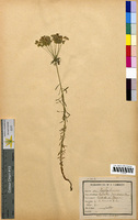 http://bibliotheque-virtuelle.clermont-universite.fr/files/fichiers_bcu/Euphorbia_gerardiana_CLF094616.jpg