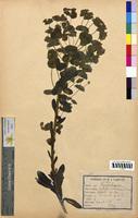http://bibliotheque-virtuelle.clermont-universite.fr/files/fichiers_bcu/Euphorbia_sylvatica_CLF094617.jpg