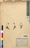 http://bibliotheque-virtuelle.clermont-universite.fr/files/fichiers_bcu/Gnaphalium_dioicum_CLF094627.jpg