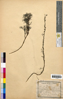 http://bibliotheque-virtuelle.clermont-universite.fr/files/fichiers_bcu/Artemisia_camphorata_CLF094636.jpg