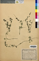 http://bibliotheque-virtuelle.clermont-universite.fr/files/fichiers_bcu/Ranunculus_divaricatus_CLF094666.jpg