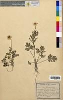 http://bibliotheque-virtuelle.clermont-universite.fr/files/fichiers_bcu/Ranunculus_bulbosus_CLF094667.jpg