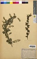 http://bibliotheque-virtuelle.clermont-universite.fr/files/fichiers_bcu/Berberis_vulgaris_CLF094673.jpg