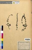 http://bibliotheque-virtuelle.clermont-universite.fr/files/fichiers_bcu/Veronica_serpyllifolia_CLF094683.jpg