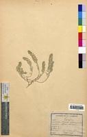 http://bibliotheque-virtuelle.clermont-universite.fr/files/fichiers_bcu/Alyssum_calycinum_CLF094742.jpg