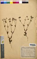 http://bibliotheque-virtuelle.clermont-universite.fr/files/fichiers_bcu/Valerianella_olitoria_CLF094744.jpg