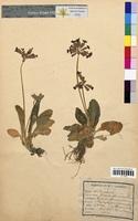 http://bibliotheque-virtuelle.clermont-universite.fr/files/fichiers_bcu/Primula_officinalis_CLF094753.jpg